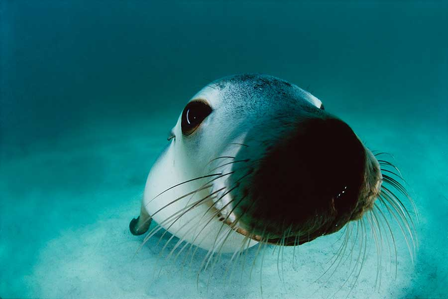 Australian-sea-lion-portrait-By-David-Doubilet
