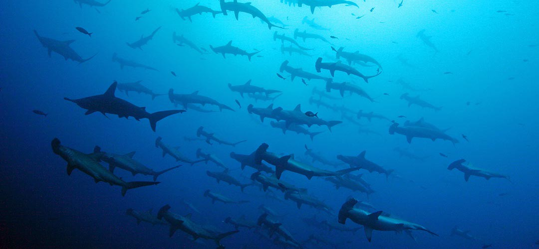 hammerhaie_galapagos