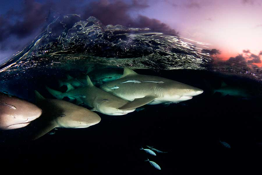 lemon-sharks-on-patrol-by-david-doubilet