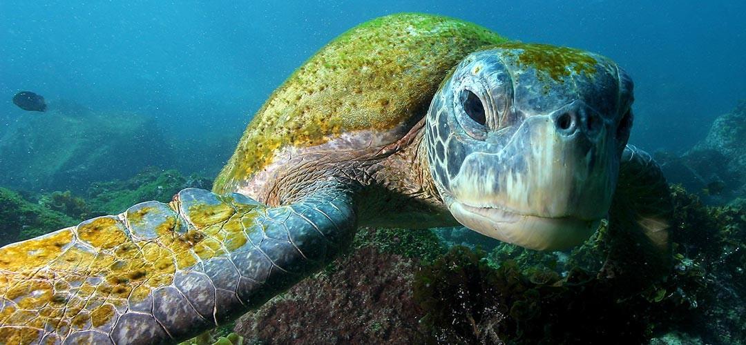 meeresschildkröte_galapagos